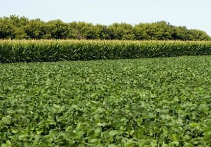 corn soybeans