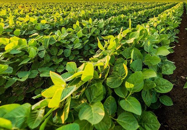 Soybean plants
