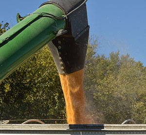 corn coming out of auger